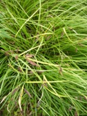 Carex flacca plody