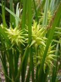 Carex grayi plod detail