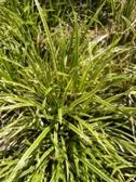 Carex morrowii Ice Dance detail