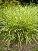 Carex morrowii IceDance