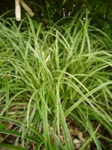 Carex morrowii Silver Scepter