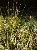 Carex morrowii Silver Scepter kvety