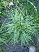 Carex morrowii Silver Scepter trs