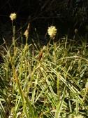 Carex morrowii IceDance kvet