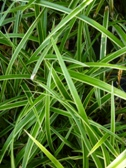 Carex morrowii IceDance list