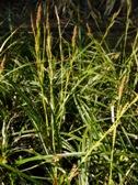 Carex morrowii Variegata kvety