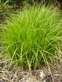 Carex muskingumensis raseni