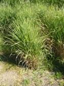 Miscanthus purpurascens jaro