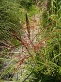 Miscanthus Ferner Osten kvet