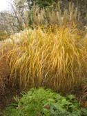 Miscanthus Grosse Fontane podzim