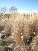 Miscanthus sinensis ´Kleine Fontane´ po zime