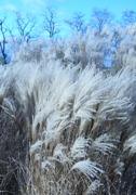 Miscanthus sinensis ´Kleine Fontane´ zima