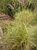 Miscanthus Little Zebra listy
