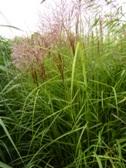 Miscanthus sinensis ´Nippon´ nakvetani