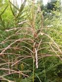 Miscanthus sinensis Punktchen kvet detail