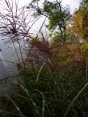 Miscanthus sinensis Punktchen kvety