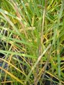 Miscanthus sinensis Punktchen podzimni listy