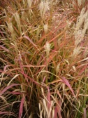 Miscanthus purpurascens rijen2009