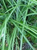 Miscanthus sinensis Sarabande detail listu