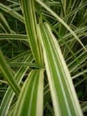Miscanthus sinensis Variegatus listy