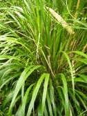 Calamagrostis brachytricha - listy na jare