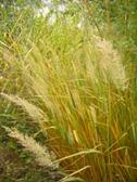 Calamagrostis brachytricha podzimni efekt