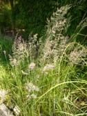 calamagrostis_karlfoerster_nakvetani