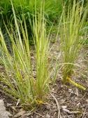 calamagrostis_overdam_mladytrs