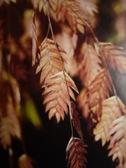 chasmanthium_latifolium_kvet