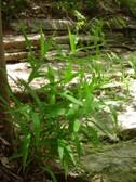 chasmanthium_latifolium_nakvetani