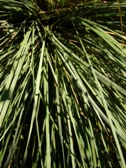 helictotrichon_sempervirens_listy