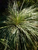 helictotrichon_sempervirens_trs