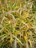 spodiopogon_sibiricus_podzim